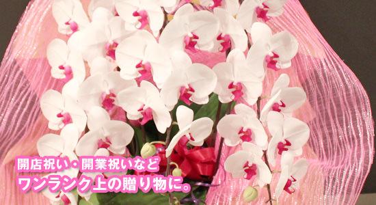 開店祝い・開業祝いなどワンランク上の贈り物に胡蝶蘭