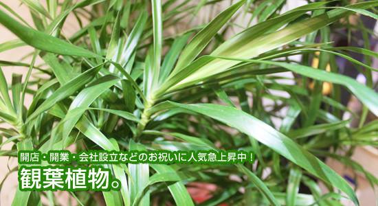 開店・開業・会社設立などのお祝いに人気急上昇中! 観葉植物。